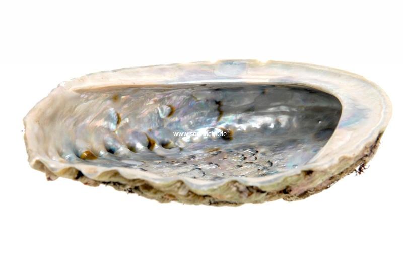 abalone paua muschel versch gr ssen r uchermuschel. Black Bedroom Furniture Sets. Home Design Ideas